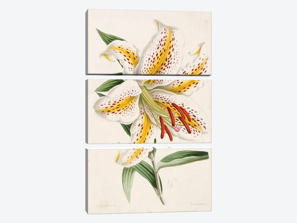 Lily, from 'The Floral Magazine', 1861-71  by James Andrews 3-piece Art Print