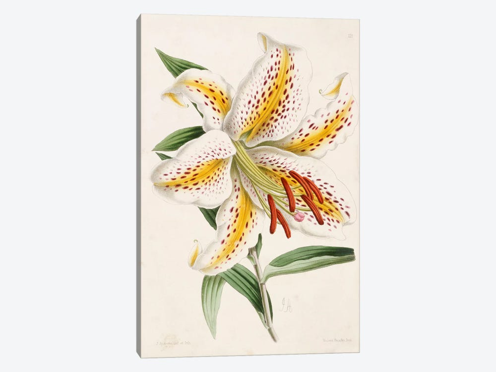 Lily, from 'The Floral Magazine', 1861-71  by James Andrews 1-piece Canvas Print