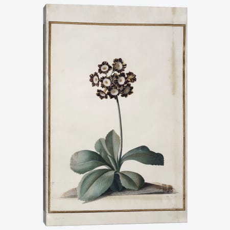 A Purple Variegated Auricula  Canvas Print #BMN5239} by Georg Dionysius Ehret Canvas Art