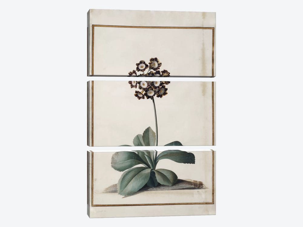 A Purple Variegated Auricula by Georg Dionysius Ehret 3-piece Canvas Art