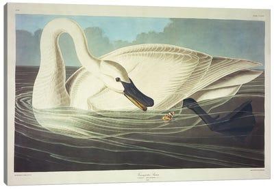 Trumpeter Swan  Canvas Art Print