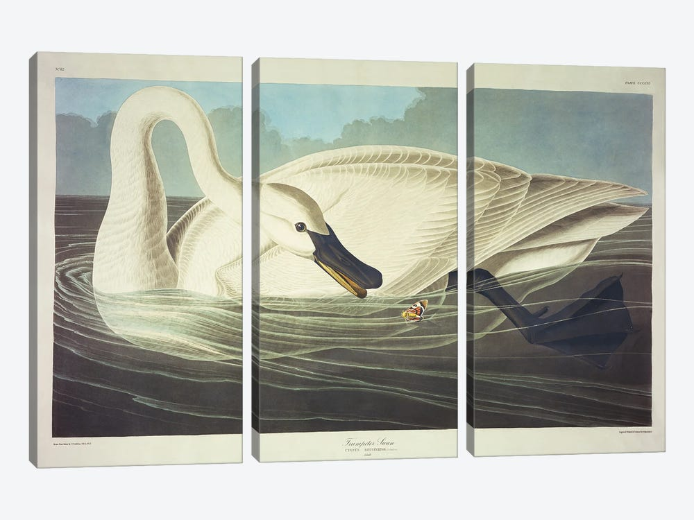 Trumpeter Swan  by John James Audubon 3-piece Art Print