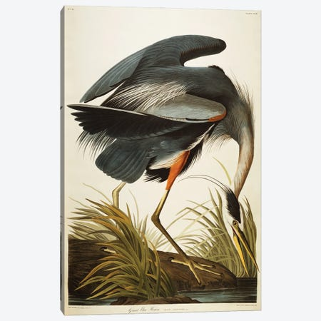 Great Blue Heron  Canvas Print #BMN5297} by John James Audubon Canvas Art Print