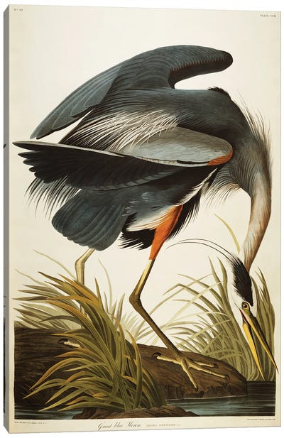Great Blue Heron Canvas Art Print