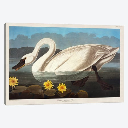 Common American Swan. Whistling Swan  Canvas Print #BMN5298} by John James Audubon Canvas Wall Art
