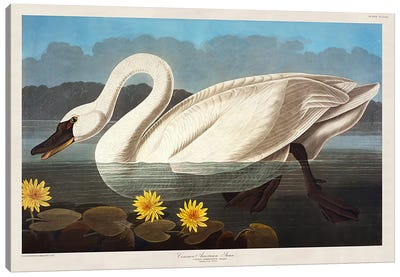 Common American Swan. Whistling Swan Canvas Art Print