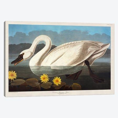 Common American Swan. Whistling Swan  Canvas Print #BMN5298} by John James Audubon Canvas Wall Art