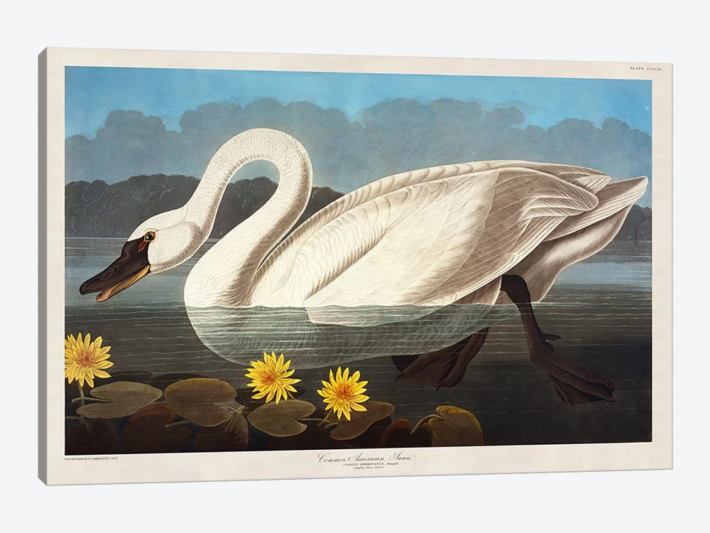 Common American Swan. Whistling Swan  by John James Audubon 1-piece Canvas Art Print