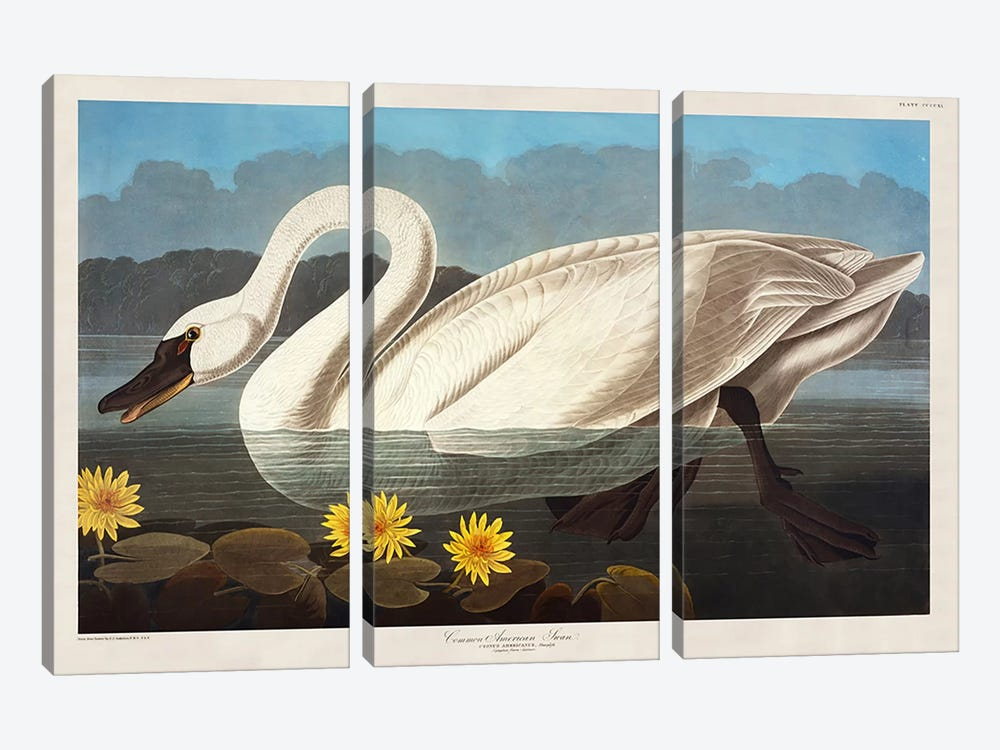 Common American Swan. Whistling Swan  by John James Audubon 3-piece Canvas Print