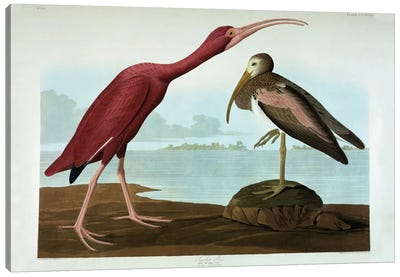 Scarlet Ibis Canvas Art Print