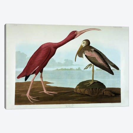 Scarlet Ibis  Canvas Print #BMN5299} by John James Audubon Canvas Art