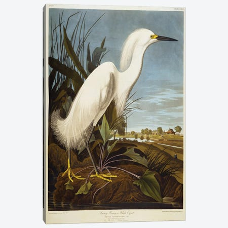 Snowy Heron Or White Egret / Snowy Egret  Canvas Print #BMN5300} by John James Audubon Canvas Artwork