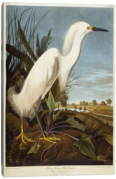 Snowy Heron Or White Egret / Snowy Egret  Canvas Art Print