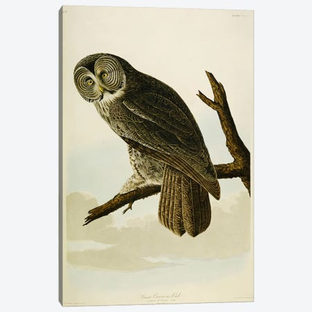 Great Cinereous Owl Canvas Print #BMN5301} by John James Audubon Canvas Wall Art