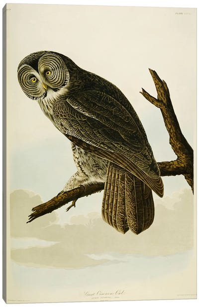 Great Cinereous Owl, from 'The Birds of America' Canvas Art Print