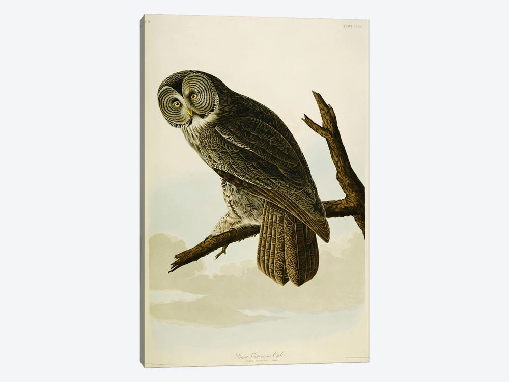 Great Cinereous Owl, from 'The Birds of America' by John James Audubon 1-piece Canvas Artwork