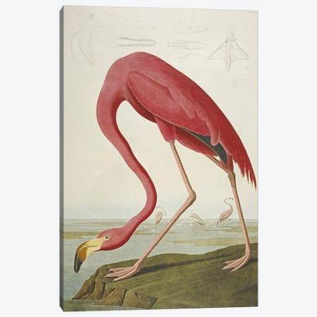 American Flamingo Canvas Print #BMN5302} by John James Audubon Canvas Artwork