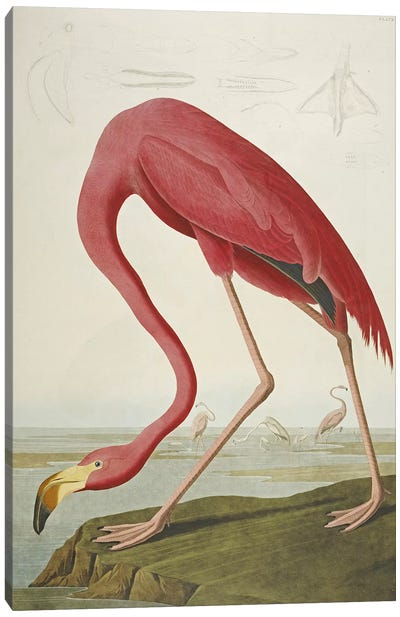 American Flamingo, from 'The Birds of America' Canvas Art Print