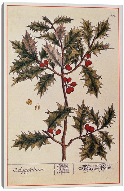 Holly from 'A Curious Herbal', 1782 Canvas Art Print