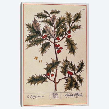 Holly from 'A Curious Herbal', 1782 Canvas Print #BMN536} by Elizabeth Blackwell Canvas Print