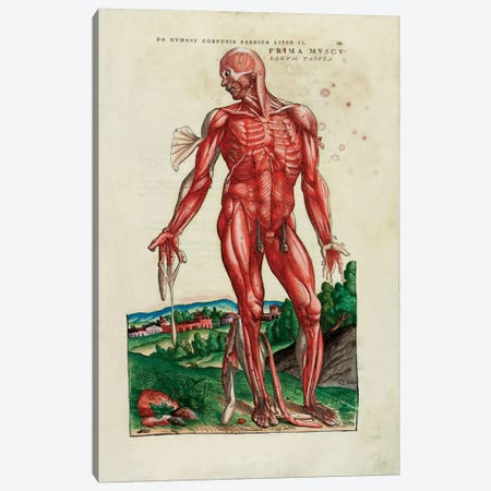 Prima Musculorum Tabula, illustration from 'De Humani Corporis Fabrica Libri Septem' by Andreas Vesalius  Canvas Print #BMN5631} by Venetian School Canvas Artwork