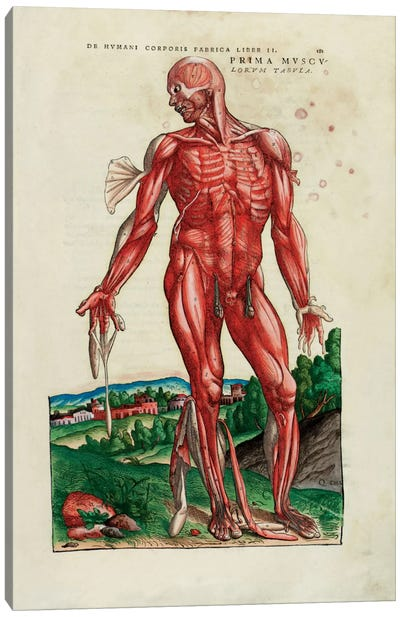 Prima Musculorum Tabula, illustration from 'De Humani Corporis Fabrica Libri Septem' by Andreas Vesalius  Canvas Art Print