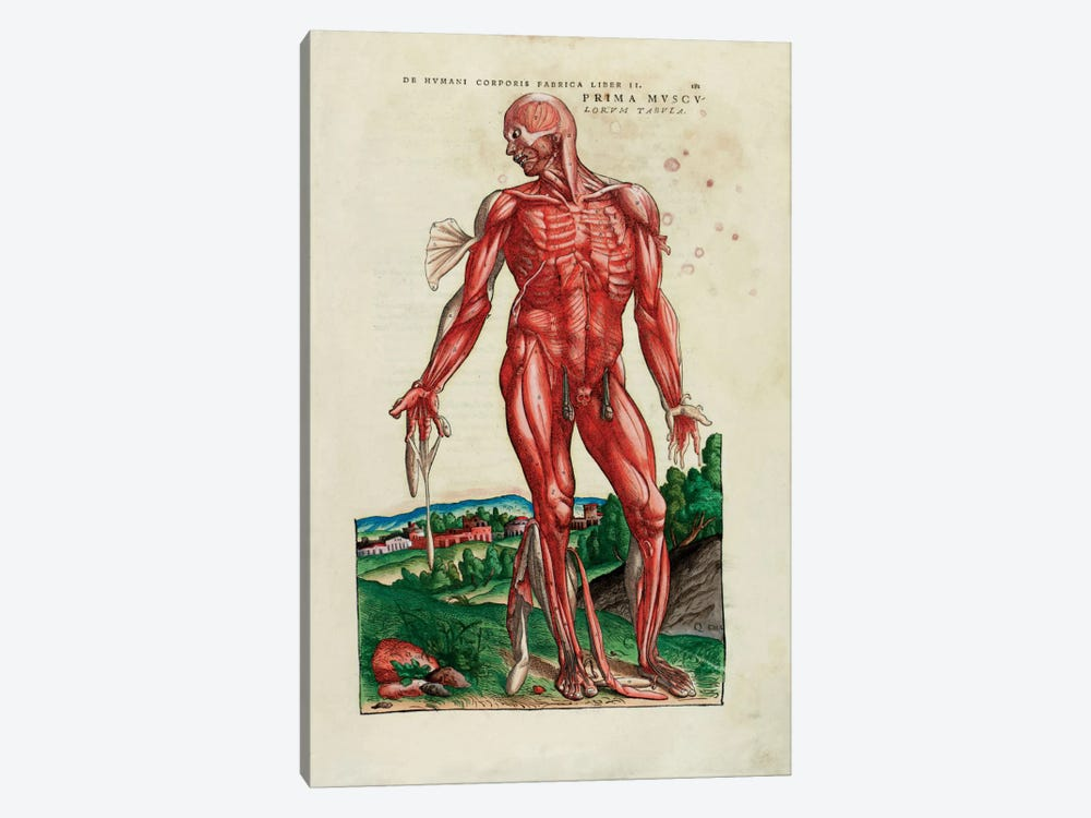 Prima Musculorum Tabula, illustration from 'De Humani Corporis Fabrica Libri Septem' by Andreas Vesalius by Venetian School 1-piece Art Print