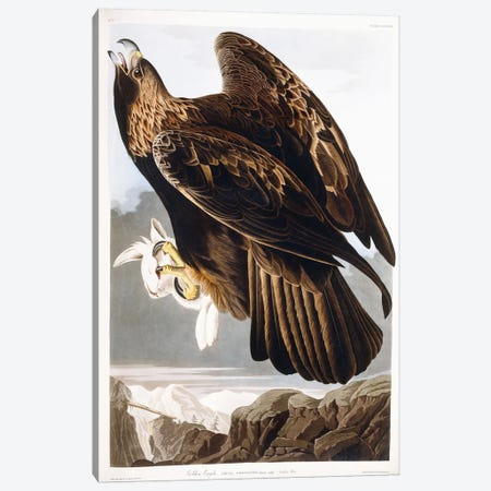 Golden Eagle, 1833  Canvas Print #BMN6021} by John James Audubon Art Print