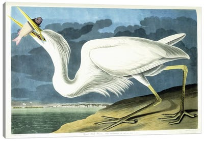 Great White Heron, Male Adult, Spring Plumage, 1835  Canvas Art Print