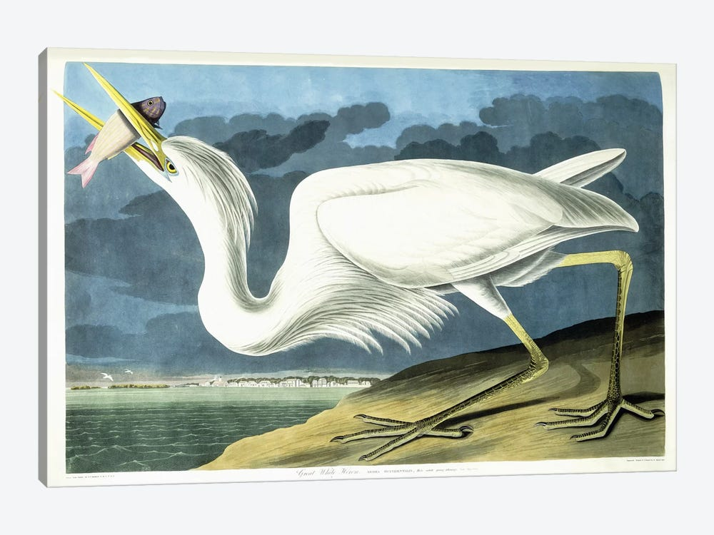 Great White Heron, Male Adult, Spring Plumage, 1835  by John James Audubon 1-piece Canvas Art Print