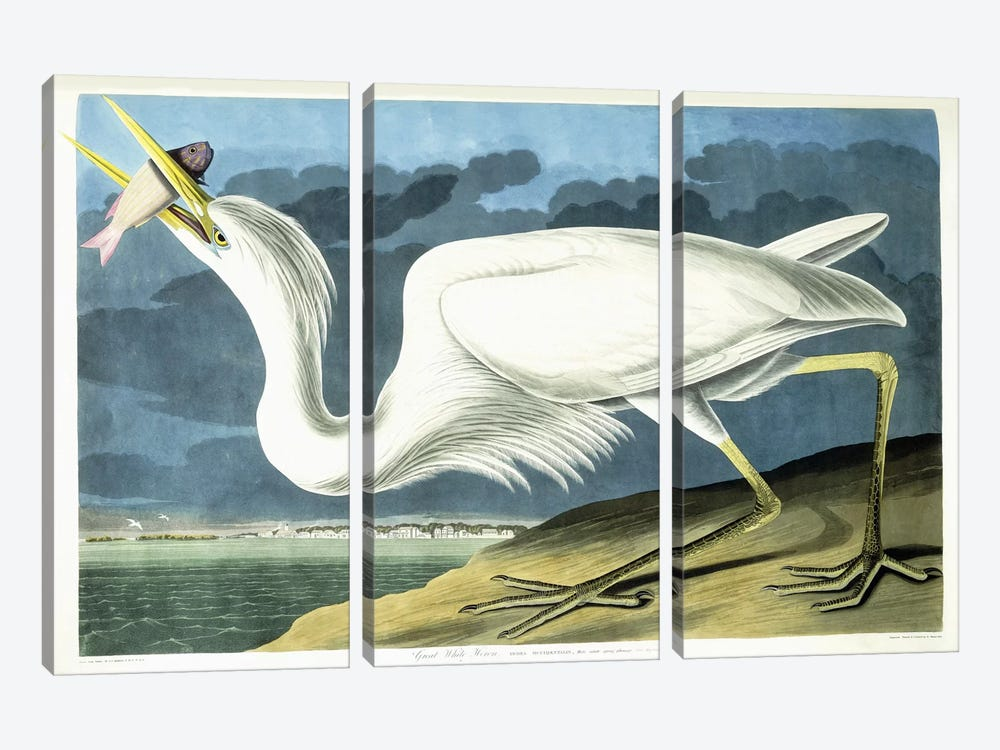 Great White Heron, Male Adult, Spring Plumage, 1835  by John James Audubon 3-piece Canvas Art Print