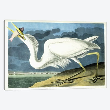 Great White Heron, Male Adult, Spring Plumage, 1835  Canvas Print #BMN6022} by John James Audubon Art Print