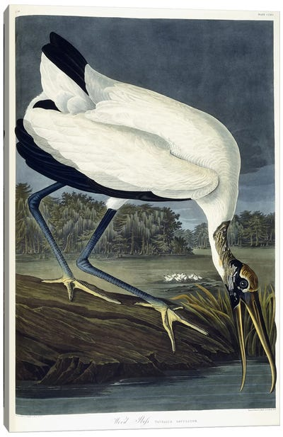 Wood Ibis, 1834 Canvas Art Print