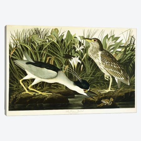Night Heron or Lua Bird, 1835  Canvas Print #BMN6024} by John James Audubon Canvas Art