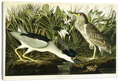 Night Heron or Lua Bird, 1835  Canvas Print #BMN6024