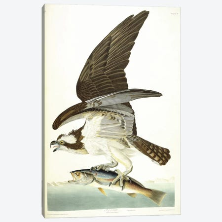 Fish Hawk, 1830  Canvas Print #BMN6025} by John James Audubon Canvas Artwork