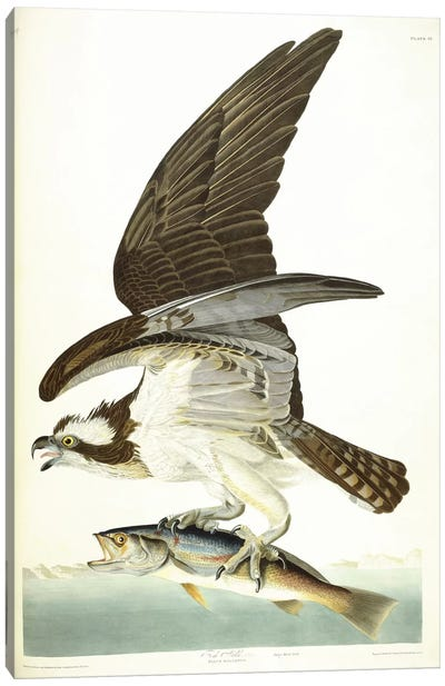 Fish Hawk, 1830  Canvas Art Print