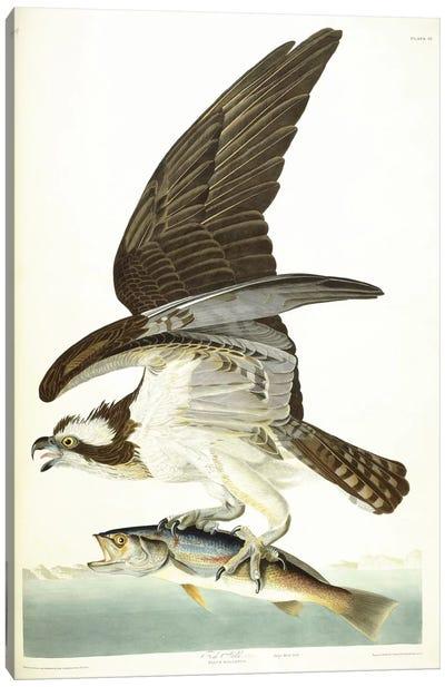 Fish Hawk, 1830  Canvas Art Print
