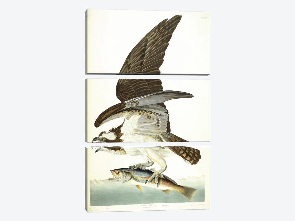 Fish Hawk, 1830  by John James Audubon 3-piece Canvas Artwork
