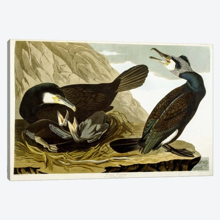 Common Cormorant, 1835  Canvas Print #BMN6027} by John James Audubon Canvas Art