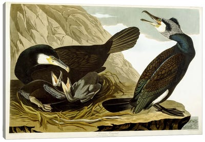 Common Cormorant, 1835 Canvas Art Print