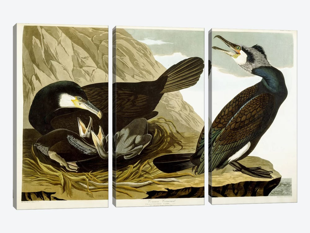Common Cormorant, 1835 by John James Audubon 3-piece Canvas Art
