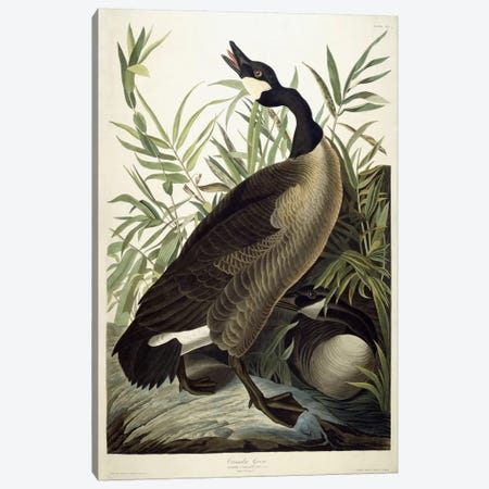 Canada Goose, c.1827-1838  Canvas Print #BMN6029} by John James Audubon Art Print
