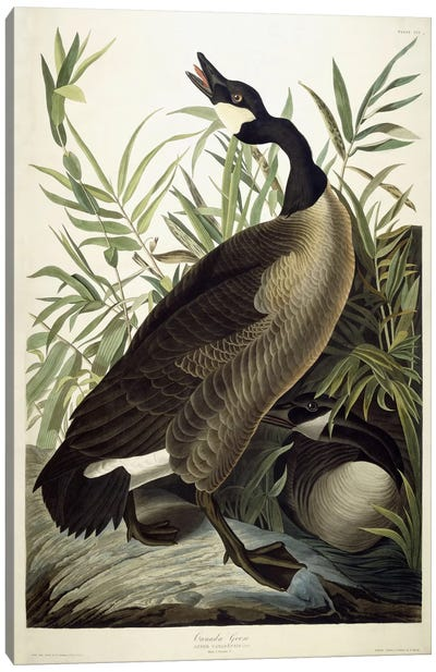 Canada Goose, c.1827-1838 Canvas Art Print