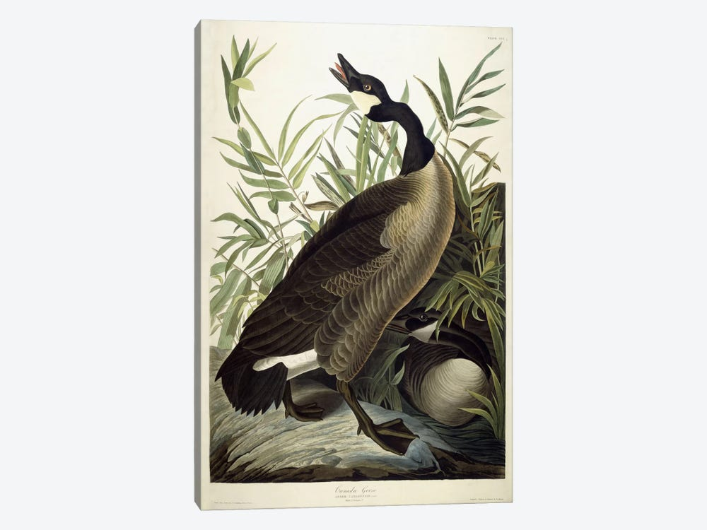 Canada Goose, c.1827-1838 1-piece Canvas Art