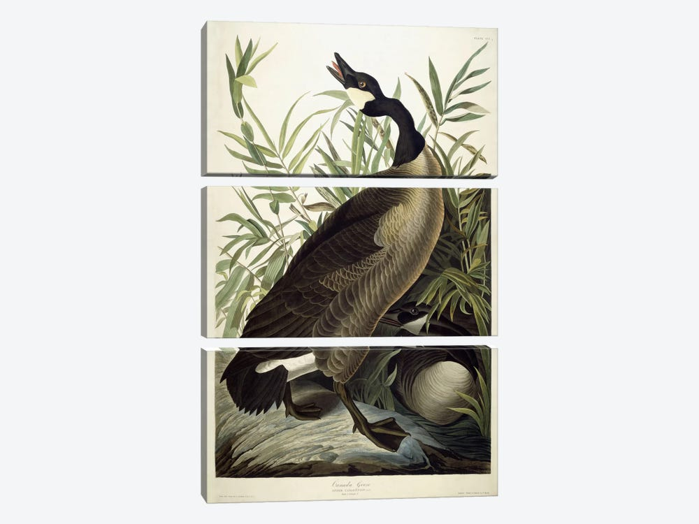 Canada Goose, c.1827-1838 3-piece Canvas Wall Art