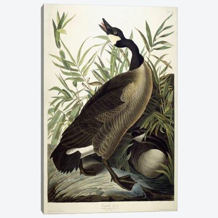 Canada Goose, c.1827-1838  Canvas Print #BMN6029} by John James Audubon Art Print