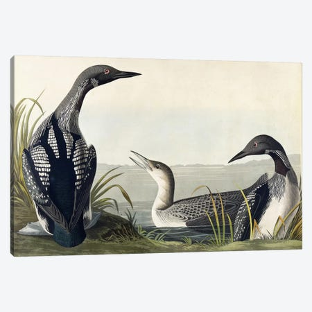 Black-throated Diver  Canvas Print #BMN6030} by John James Audubon Canvas Art