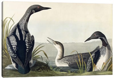 Black-throated Diver Canvas Art Print