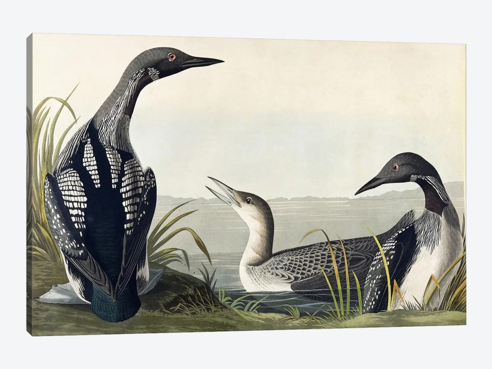 Black-throated Diver 1-piece Canvas Wall Art